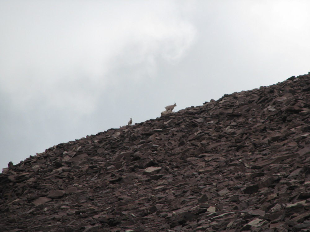 Mountain goats on Skyline during Mt. Emmons summit.