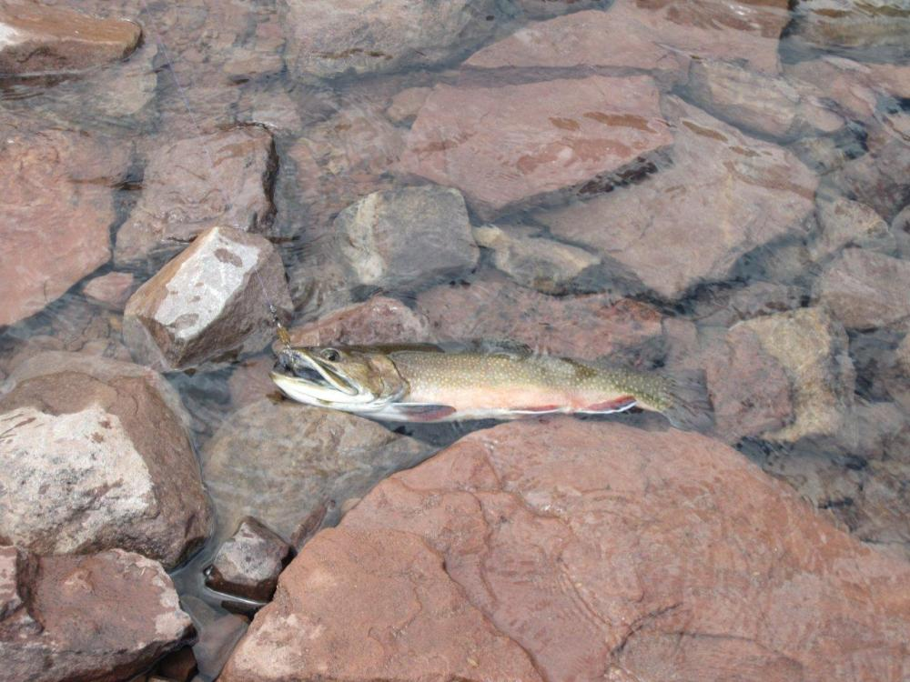 Fish of the Trip; a Brook Trout circa 2.5 lbs at an Elevation of 11,500 ft.
